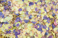 Squeezed grapes Royalty Free Stock Photography
