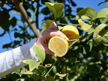 Squeezing lemon Royalty Free Stock Photo