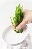 Squeezing wheat grass. Royalty Free Stock Images