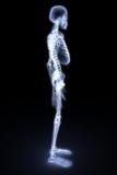 Squelette Image stock