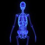 Squelette avec l'appareil digestif illustration de vecteur