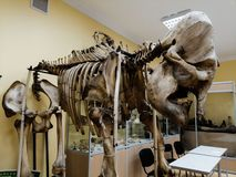 Squelette d'éléphant images libres de droits