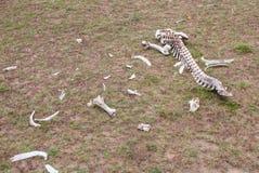 Squelette d'antilope Images libres de droits