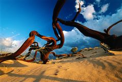 Squelette d'arbre de désert image stock