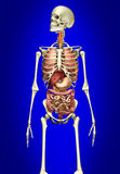 Squelette d'homme avec les organes internes Photos stock