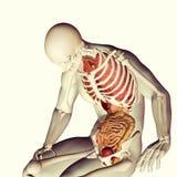 squelette 3d médical avec les organes internes Photos libres de droits