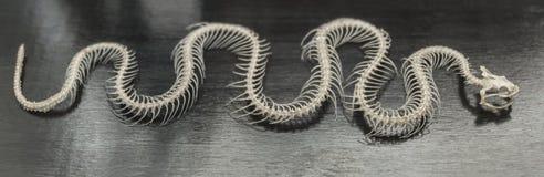 Squelette d'un serpent Photos stock