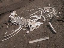 Squelette de baleine Photographie stock