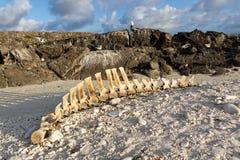 Squelette de baleine pilote sur une plage, île de Genovesa, îles de Galapagos Photos libres de droits