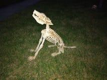 Squelette de chien d'hurlement images libres de droits