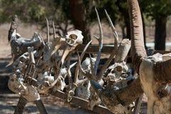 Squelette de Comodo Photographie stock