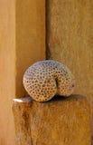 Squelette de corail Photographie stock libre de droits
