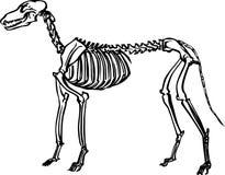 Squelette de crabot Image libre de droits