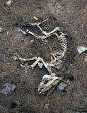Squelette de crabot Photographie stock libre de droits