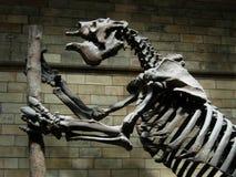 Squelette de dinosaur Images libres de droits
