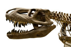 Squelette de dinosaure Images libres de droits
