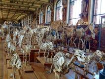 Squelette de dinosaure Photos libres de droits
