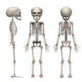 Squelette de foetus Photographie stock