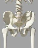 Squelette de hanche sur le fond bleu Photos stock