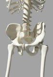 Squelette de hanche sur le fond bleu Images libres de droits