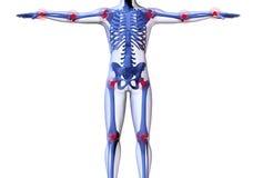Squelette de l'homme Image libre de droits