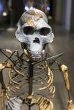 Squelette de Lucy images libres de droits
