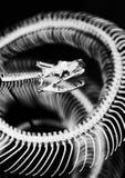 Squelette de serpent photos libres de droits