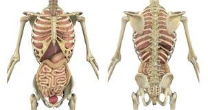 Squelette de torse avec les organes internes Images stock