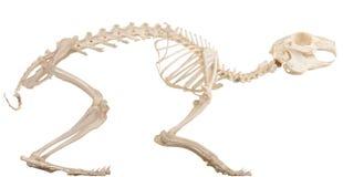 Squelette du quadrupède Photos libres de droits