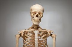Squelette humain Image libre de droits