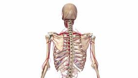 Squelette humain avec des artères illustration de vecteur