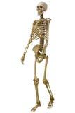 Squelette humain d'isolement sur le blanc Images libres de droits