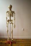 Squelette humain dans la salle de classe Images libres de droits
