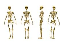 Squelette humain - différentes vues Photographie stock