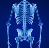 Squelette humain, médicalement précis Photographie stock libre de droits