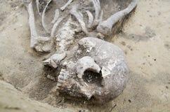 Squelette humain réel exhumé Images libres de droits