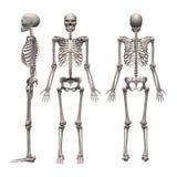 Squelette mâle Image stock
