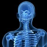 Squelette mâle Image libre de droits