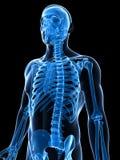 Squelette masculin illustration libre de droits