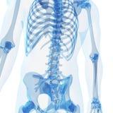 Squelette masculin Image libre de droits