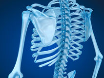 Squelette, épine et omoplate humains Images stock