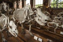 Squelettes dans la galerie de paleonthology dans le musée d'histoire naturelle de Paris, France Photographie stock libre de droits