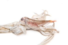 Squid ate little fish, hunter Royalty Free Stock Photography