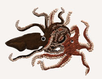 Squid attacking an octopus. A giant squid attacking a giant octopus Stock Photography