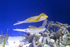 Squid big fin reef. Two big fin reef squid swimming through the reef stock photography
