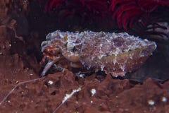 Squid cuttlefish underwater while eating shrimp Stock Image