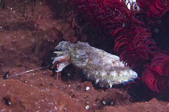 Squid cuttlefish underwater while eating shrimp Royalty Free Stock Photo