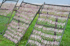 Squid drying Stock Images