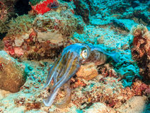 Squid hiding on a reef Royalty Free Stock Photos