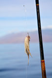 Squid on a hook Royalty Free Stock Photos